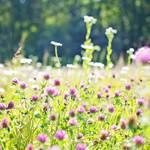 アザミの花言葉とその由来!贈る際の注意点や最適な贈り方は?