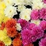 菊の花言葉は怖い?色や種類別の花言葉と葬式に使われる理由
