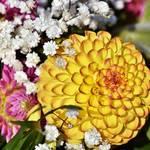 ダリアの花言葉とは?色別の花言葉と意外な怖い意味も