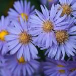 紫苑の花言葉や由来は?紫苑は日本の歴史にも関係の深い切ない花!