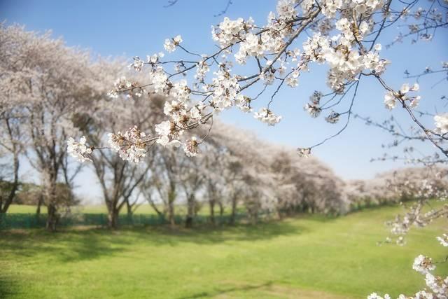 韓国 桜 花 - Pixabayの無料写真 (558101)