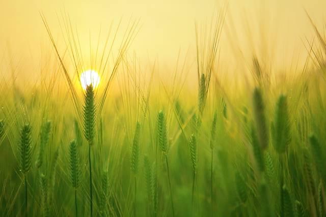麦畑 小麦 収穫 - Pixabayの無料写真 (611811)