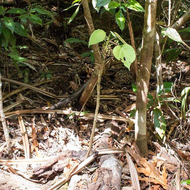"KyonosukeOka on Instagram: ""世界一危険な植物「ギンピー・ギンピー」です。別名スティンギング・ブラッシュ。 触るとあまりの痛さに意識が朦朧とし、痛みは数ヶ月から数年続くと言われているそうです… 昔この葉っぱでお尻を拭いた人がいたそうで……あまりの痛さに銃で自殺したそうです💦…"" (615180)"