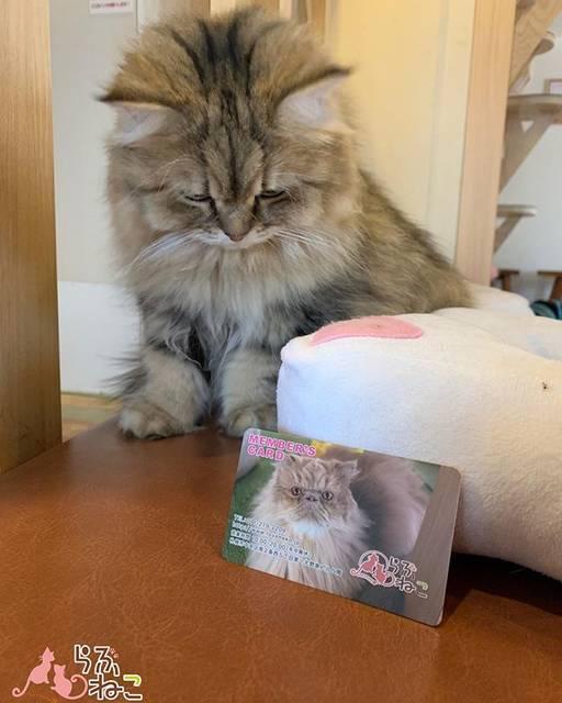 """札幌 猫カフェ らぶねこ on Instagram: """"本日は2のつく日「らぶねこデー」です✨  ポイントカードのポイントが2倍になるお得な日です( ◜௰◝ )  30ポイント貯まると開店から閉店まで出入り自由の1DAYフリーパスがもらえますよ₍ ( ๑॔˃̶◡˂̶๑॓)◞♡ 「らぶねこデー」は毎月2日、12日、22日です‼️…"""" (743943)"""