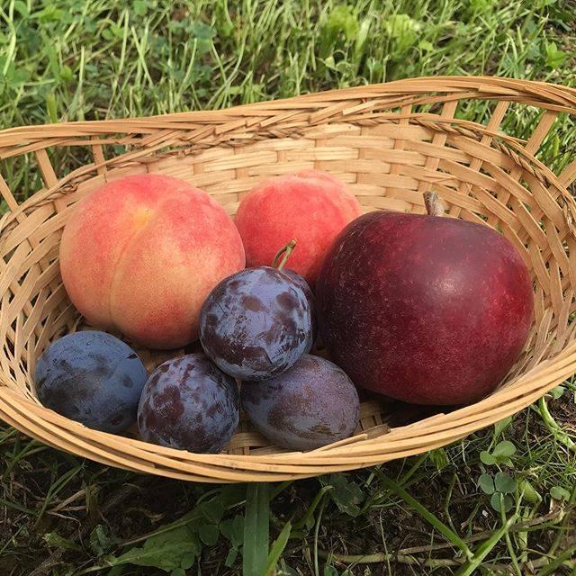 """山本観光果樹園 on Instagram: """"ただ今食べれる果物!Available fruits to pick at the moment! #桃 #プルーン #りんご #果物狩り #甘い #新鮮 #余市 #北海道 #peaches #prunes #apples #fruitspicking #sweet…"""" (746391)"""