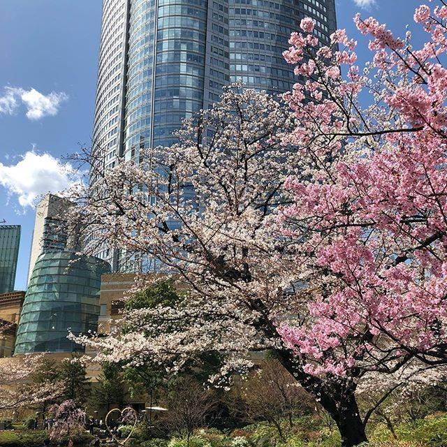 "Koji Iijima on Instagram: ""見頃 #桜 #六本木ヒルズ #見頃 #cherryblossom #roppongi #roppongihills #六本木 #六本木ヒルサイド #毛利庭園 #roppongi_hills #mouriteien #tokyo #japan #東京 #日本 #開花 #ヒルサイド…"" (763546)"