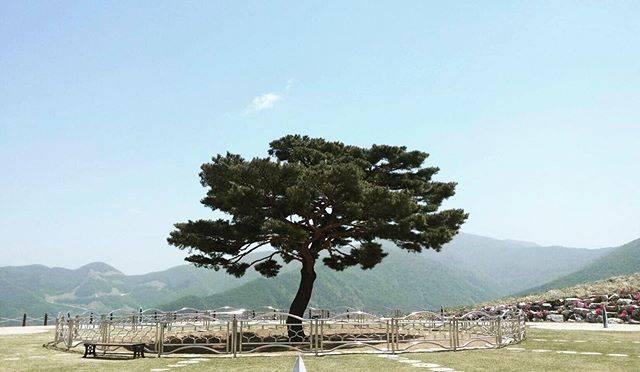 """@jnc0505 on Instagram: """"猟奇的な彼女のあの松の木 雄大な景色の中にぽつんと木が植わっていました 向こうの山並みに向かって叫んだのかな タイムカプセルも埋められます . . #타임캡슐공원 #정성 #旌善 #チョンソン #ジョンソン #タイムカプセル公園 #猟奇的な彼女 #タイムカプセル公園…"""" (766440)"""
