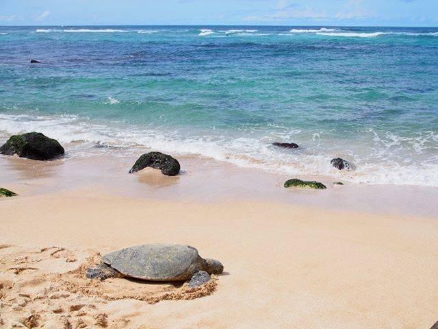 """Aloha days on Instagram: """"ノースショアへ行くと必ず立ち寄るラニアケアビーチ!こんなに間近でホヌが見れるなんて!!ラニアケアビーチの詳しい情報は""""きょうのハワイ""""でネット検索してチェック!#きょうのハワイ #ハワイ #hawaii #ラニアケアビーチ #ビーチ #ホヌ"""" (767104)"""