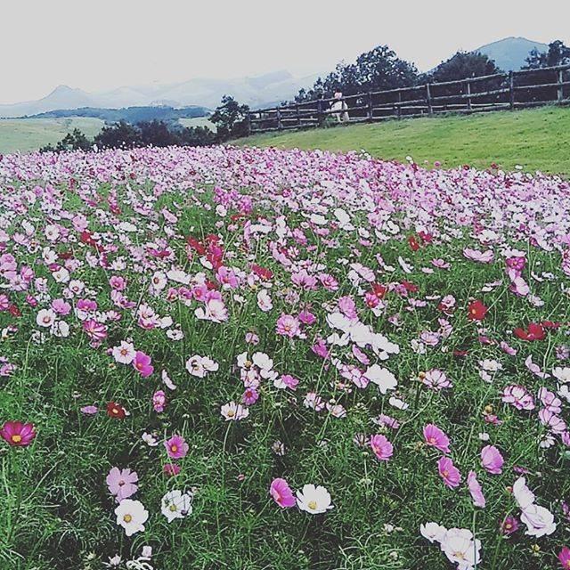 """nkaori on Instagram: """"先月行った#らくのうマザーズ阿蘇ミルク牧場 #コスモス畑"""" (772528)"""