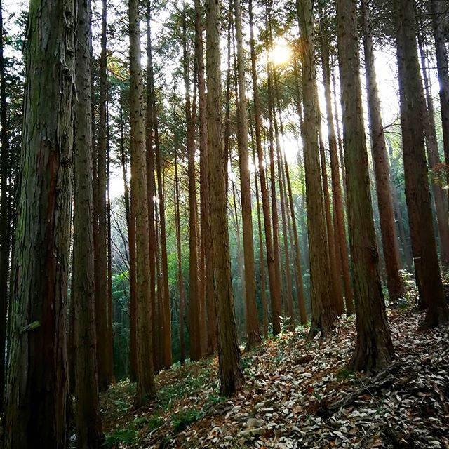 "Andrea Maciel-Miyata on Instagram: ""Cedar forest. 杉の森。  #hiking #ハイキング #常山 #常山城跡 #tsuneyama #scenery #view #景色 #景色綺麗 #景色最高 #okayama #岡山県 #岡山 #okayama #instahiking #outdoors #杉…"" (776404)"