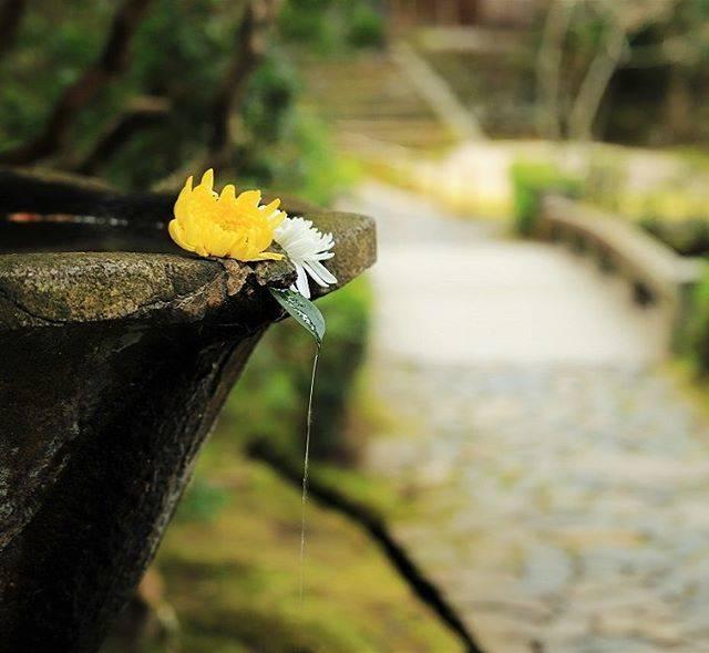 """Hiro on Instagram: """"法然院② 2020.1.19 撮影 : 法然院境内の水盤。 ・ 手水かと思っていたら、水盤って言うみたい。🙄🤔 ・ ここも必須の📸スポットですね‼️ ・ この日は、白と黄色の菊の花でした‼️ : : #京都 #法然院 #京都が好きな人と繋がりたい #日本庭園 #寺社仏閣…"""" (790224)"""