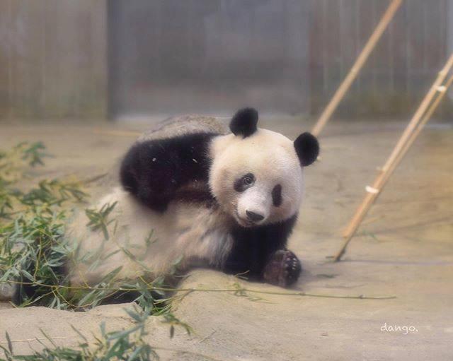"""しゃん団子(パンダ専用) on Instagram: """"🐼🐾🐾..2020.1.18..穴からヒョコっ...#シャンシャン #xiangxiang #香香 #上野動物園 #zoo #パンダ #ジャイアントパンダ #panda #動物園 #パンダ好き"""" (791458)"""