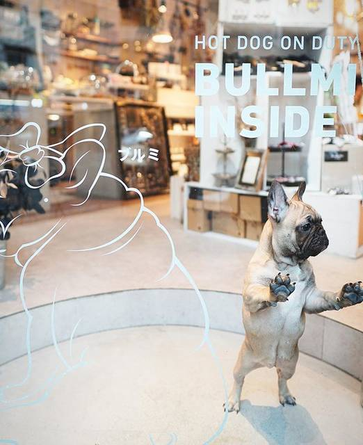 """@katachi_cafe on Instagram: """"皆さま、こんばんは!  KATACHI CAFE 犬店長のブルミです! 今日も元気いっぱいでお客様と遊んでいました!  しかもなんと! ワタシの新しいサインが今朝できていました!  「HOT DOG ON DUTY」とは、 「ワタシが勤務中」とのことです!…"""" (791760)"""