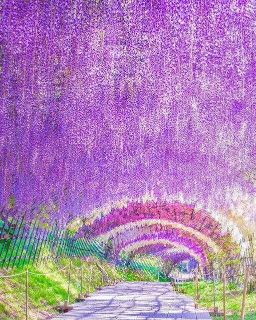 """ニッポン丸ごと!旅するスイロ on Instagram: """"【福岡県・北九州市 河内藤園】 憧れの藤園に行ってしまいました😆 定番中の定番な構図ですが、本当に綺麗で大感動✨✨ 素晴らしい藤園を育て維持している方々に感謝です!! ・ 2019.5.4撮影/OLYMPUS E-M1 mkⅡ ・ ・ ・…"""" (793347)"""