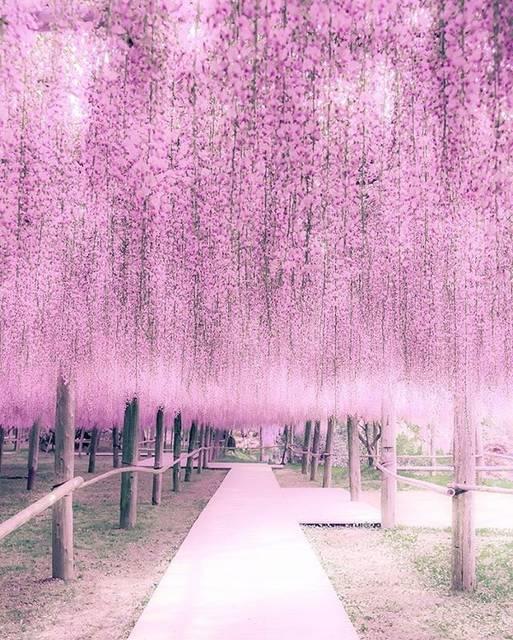 """ラムミ(ゆき) on Instagram: """"河内藤園の写真ばかりですけどお付き合いくださいね😂🙏💓 ほかの所も撮ったんですけどね (・▽・)・・・ * * 河内藤園はトンネルもいいけど藤棚も凄いですよね〜😊好きな色出た💓 * * Location=Fukuoka,Japan * * #tokyocameraclub…"""" (793348)"""