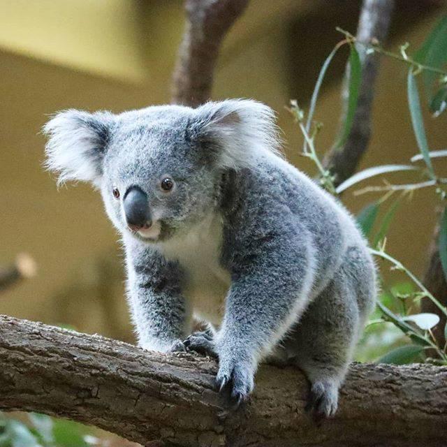 """こぉ on Instagram: """"🐨.やっぱり戻ろかな…どうしようかな…ちょっとフリーズ中のななみちゃんこのまま前進しました^^♡..📷20200118..#ななみ#ななみちゃん#コアラ#koala#東山動物園#東山動植物園"""" (794200)"""
