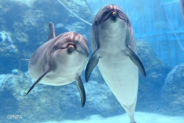 """名古屋港水族館 公式 on Instagram: """"一緒にいるところを久しぶりにパチリ! バンドウイルカのアン(右)とユウ(左)母娘。 おでこの模様がそっくりなんですよ。  #名古屋港水族館 #名古屋港水族馆 #PortofNagoyaPublicAquarium #バンドウイルカ #イルカ #Dolphin #青…"""" (794202)"""