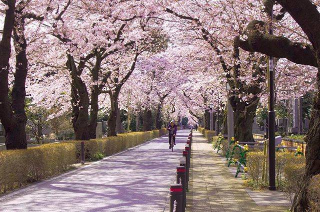 "ayane kurama on Instagram: ""朝、桜のトンネルに寄り道🐾お墓なのでご先祖さまたちにお断りして撮らせてもらいました。..#青山霊園 #桜 #朝時間"" (794810)"