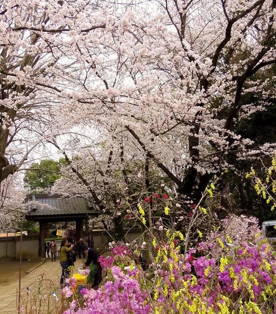 """郁 on Instagram: """"#滝不動尊#船橋#千葉県#散歩#寄り道#flower #花好きな人と繋がりたい#桜満開#cherry blossom#暑い#桜"""" (795350)"""