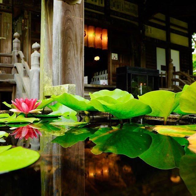 "Osamu Nariai on Instagram: ""#鎌倉 #宝戒寺 #睡蓮 ⛩#神社仏閣  #鎌倉散歩 #リフレクション #日本の風景 #睡蓮鉢"" (796719)"