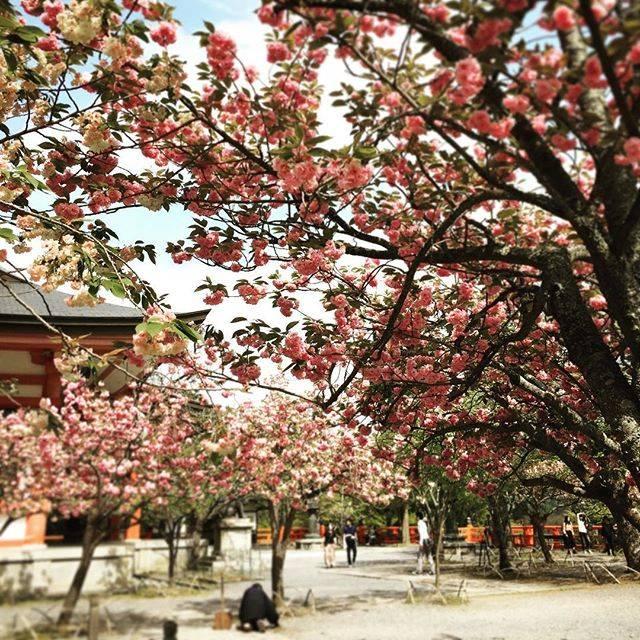"22 PIECES on Instagram: ""How about to go to Kurama to enjoy ONSEN and SAKURA?  #kurama #kuramaonsen #hotsprings #cherryblossom #22pieces #activetrader #鞍馬寺 #鞍馬温泉…"" (806800)"