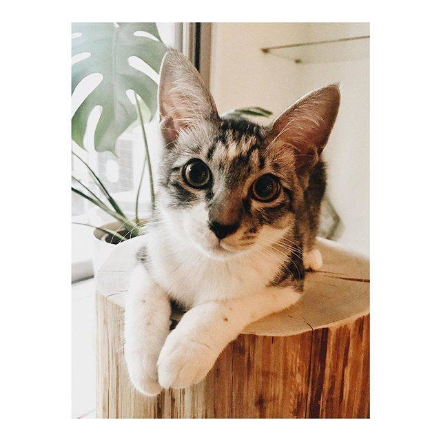 "neKo on Instagram: ""#はちわれ#さばとら#neko#猫#cat#instacat#catstagram#元保護猫#にゃんぱく宣言#にゃんすたぐらむ#ねこ部#catsofinstagram#cats#サバトラ#ハチワレ"" (808231)"