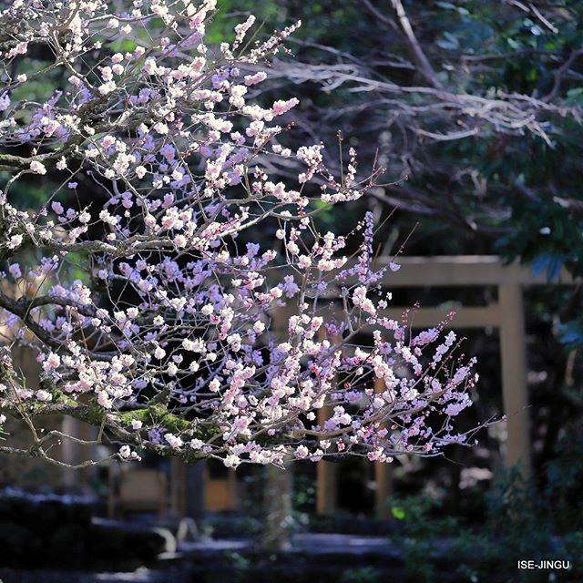 "伊勢神宮 / ISE-JINGU on Instagram: ""#伊勢神宮 #神宮 #神社 #心のふるさと #内宮 #大山祇神社 #子安神社 #梅 #豊後梅 #鳥居 #早春 #ISEJINGU #JINGU #SOUL_of_JAPAN #Japan #Jinja #Shinto #Naiku #plum #torii…"" (813138)"