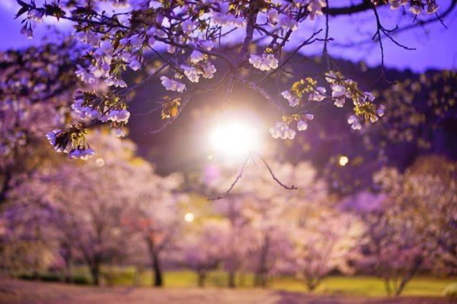 """つか太郎 on Instagram: """"#鏡山公園 今日夜勤明けで朝雨降ってて寒かったけど夕方ぐらいから雨が上がって良かった そんな今日は鏡山公園に行ってきました ほとんど桜も散り始めてて、同時に少し寂しさも覚えました 鏡山公園はこの去年の7月に大雨の影響でまだまだ震災の傷跡が深いなとも感じました…"""" (813241)"""