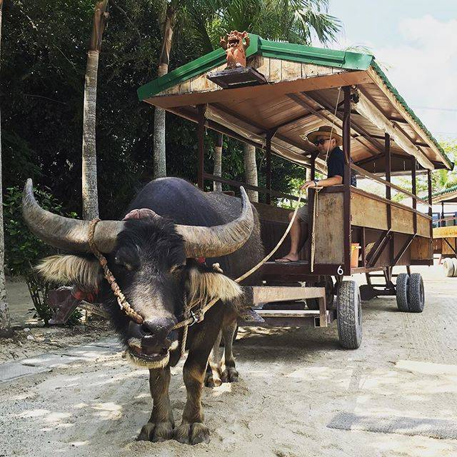 "@guts_miya on Instagram: ""竹富島の水牛。時が止まり映画のワンシーンのような街。心が安らぐ、魅力的な島でした。また遊びに来ますね#竹富島#水牛車観光#竹富島観光#石垣島旅行#仕事好きな人と繋がりたい"" (831016)"