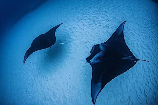 """Aki Maruoka's Instagram photo: """"flying✈︎ 砂地を羽ばたくマンタ美しい🥺🙏🏼 . 📍Point : ヨナラ水道 Yaeyama Islands, Okinawa, Japan🇯🇵 #underwater #underwaterphotography #underwaterworld #uwpic…"""" (834609)"""