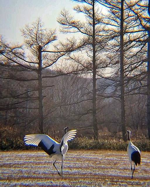 "ZOE on Instagram: ""『丹頂鶴』 ・ ・  japanese crane.  I met in ""Kushiro wetlands"" in Hokkaido. so much beautiful but they are endangered species. ・ ・…"" (853243)"