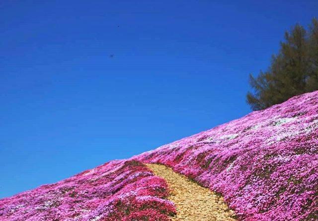 """atsushi on Instagram: """"【 芝桜の道 】  昨年picです✨  今年の東藻琴芝桜まつりはコロナの影響で中止になりました。  でも、公園内の芝桜は例年通り開花します。今年は入場無料。  落ち着いたら行ってみたいですねー😊  #my_eos_photo #art_of_japan_…"""" (866107)"""