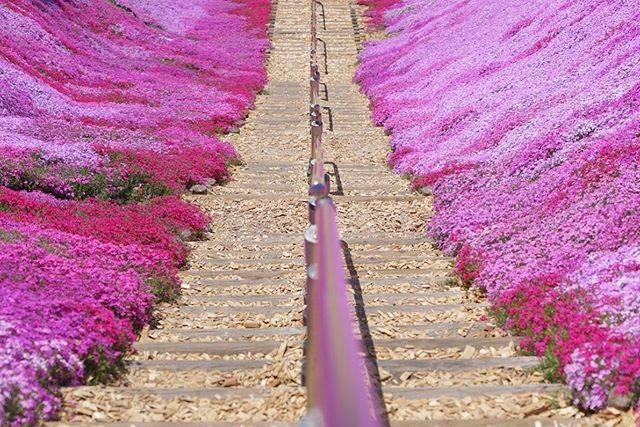 "sayaka's Instagram photo: ""❁ ❁ ❁ ❁ ❁ 『恋の階段』 ❁ ❁ ❁ ❁︎ ❁ #北海道じゃらん花絶景フォトコンテスト #東藻琴芝桜公園 #北海道 #十勝 #芝桜 #花 #flower #spring #春 #instagood #photooftheday #photography #SONY…"" (866161)"