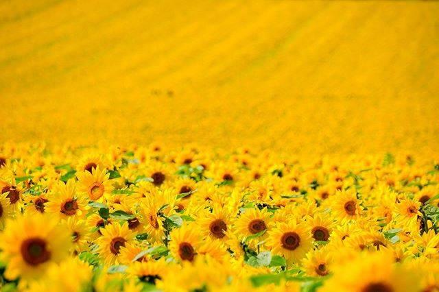 "kiyoshi on Instagram: ""遅咲きのひまわり③ #絶景すぎる #向日葵だらけ * * * * * #北海道 #千歳 #hokkaido #chitose #パレットの丘 #花 #flower #向日葵#🌻#ひまわり #花畑 #一面のひまわり畑 #sunflower #東京カメラ部…"" (870851)"