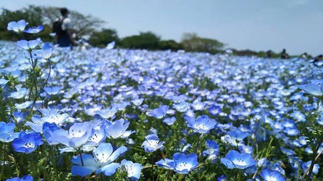 "KOMAYU on Instagram: ""20/5/6去年のGWは10連休もあって楽しかったな、と思い出すおこもりGW後半..#ネモフィラ#福岡 #海の中道海浜公園#flowers #nemophila"" (875574)"