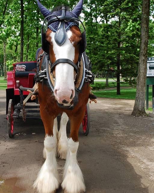 """@kentaroh79 on Instagram: """"ずんぐり😗 .#ノーザンホースパーク #NHP#馬 #horse#馬好き #horselove #引き馬 #馬車#北海道 #ずんぐり#馬好きな人と繋がりたい"""" (875647)"""