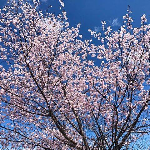 "ISOE.N on Instagram: ""毎日桜🌸すぐ散ってしまう桜をこんなに毎日あちこちでゆっくり見たり撮影したの初めてだわ( *˙˙*) 例年なら隙間時間にサッと見てサッと撮影して終わっていたけれどね…今年はめちゃくちゃ桜🌸満喫  #桜 #さくら #毎日桜 #エゾヤマザクラ #春 #春の北海道 #北海道 #北見市…"" (877787)"