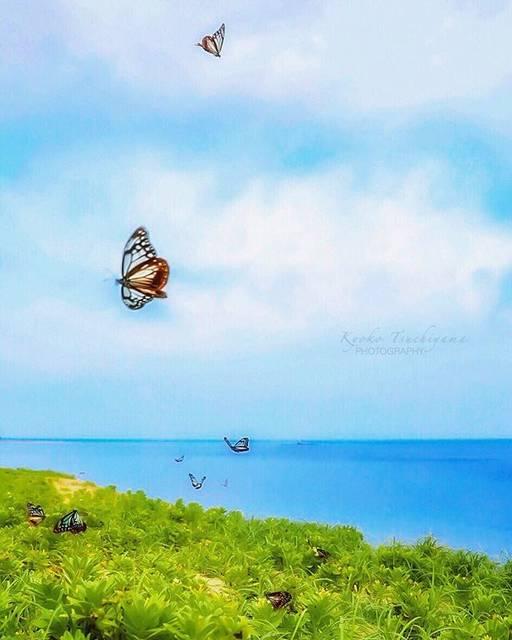 """いちじくぱい's Instagram profile post: """". . *.:*. . . . 風を切って進むヨット⛵️の様に飛ぶ姫島のアサギマダラ🦋 . そして この暑さ💦 . . もう夏かなぁ...* . . 10時過ぎて蝶の数は減ったけど少し晴れてきた空バージョン♡ . . . 大分県 東国東郡 Higashikunsaki,Oita…"""" (880721)"""