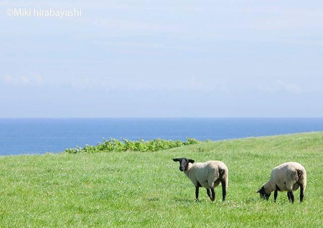 "Miki Hirabayashi on Instagram: ""海の見える放牧地#北海道#焼尻島#サフォーク#夏#海#毎日暑すぎるので#涼しい一枚を#過去pic#summer#hokkaido #farm#sea#suffolksheep"" (881978)"