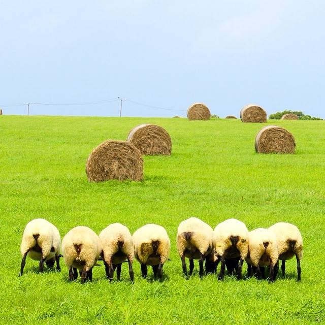 """TS on Instagram: """"北海道で羊に会うなら焼尻島!ナイスな後ろ姿(草に夢中でこっち向いてくれないだけ)#北海道 #焼尻島 #島 #動物 #bns_japan #羊 #牧場 #お尻 #緑 #離島 #草 #青"""" (881979)"""