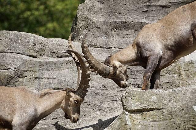 Ibex Male Horned · Free photo on Pixabay (25466)
