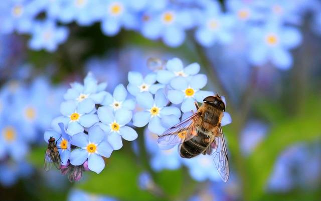 Forget Me Not Hoverfly Fly · Free photo on Pixabay (31708)