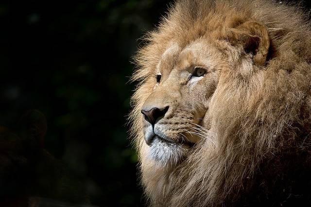 Lion Wild Africa · Free photo on Pixabay (46372)