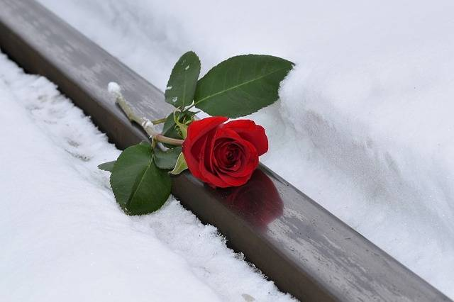 Red Rose Lost Love Snow · Free photo on Pixabay (46402)
