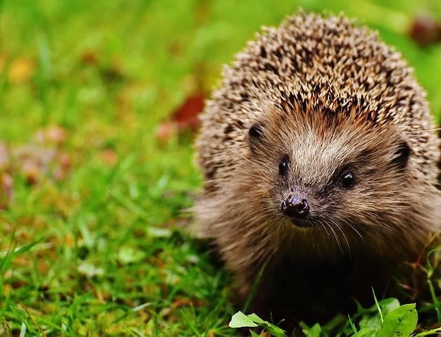 Hedgehog Child Animal · Free photo on Pixabay (56398)