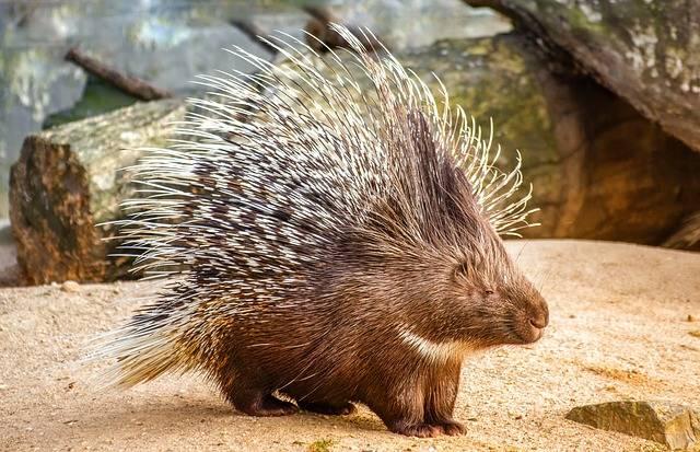 Nature Animal Porcupine · Free photo on Pixabay (56417)