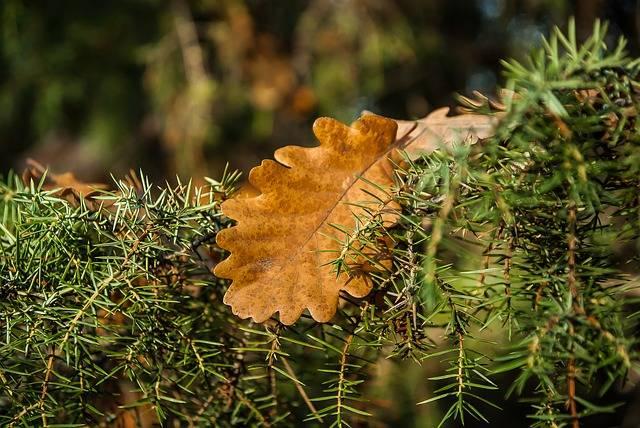 Dead Leaf Rosemary Oak · Free photo on Pixabay (61673)