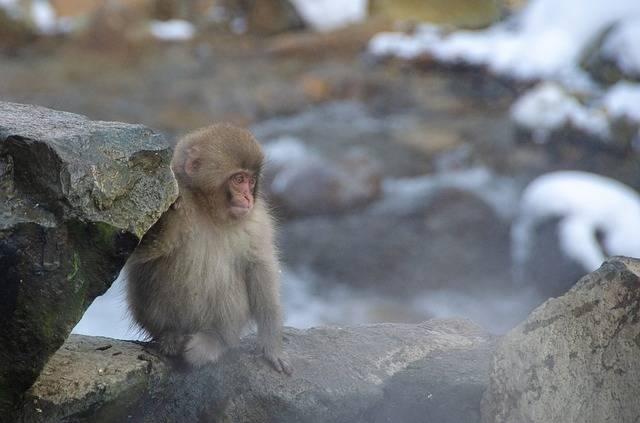Snow Monkey Japanese Macaque Japan · Free photo on Pixabay (62170)