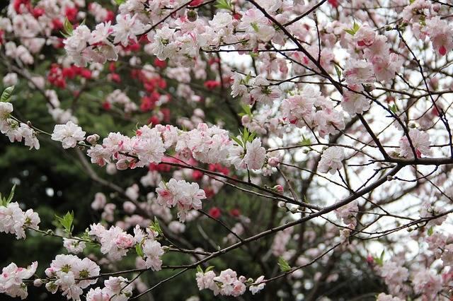 Sakura Spring Tokyo · Free photo on Pixabay (62179)