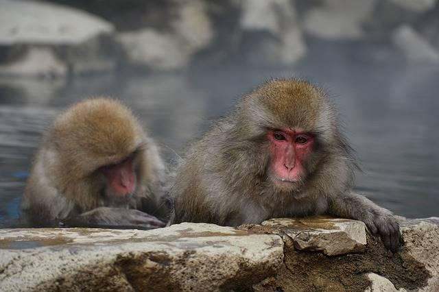 Animal Monkey Baby Japanese · Free photo on Pixabay (62952)